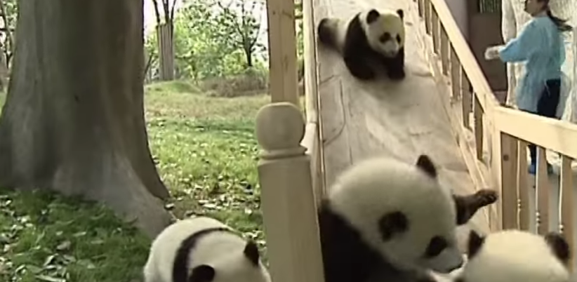 Pandas Playing on Slide